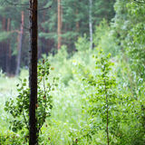 Tronco di albero solo Immagine Stock Libera da Diritti
