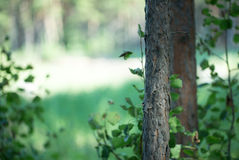 Tronco di albero solo Fotografie Stock Libere da Diritti