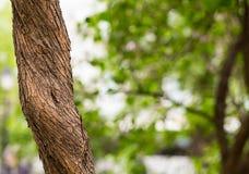 Tronco di albero sottile Pianta su una foresta vaga del fondo, modello di eco con spazio per testo Fotografia Stock