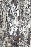 Tronco di albero - struttura di legno della corteccia fotografia stock libera da diritti