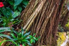 Tronco di albero tropicale più sviluppato con le viti, piante decorative, fondo della natura di un giardino esotico fotografia stock libera da diritti