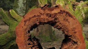Tronco di albero vuoto spesso video d archivio