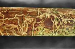 Tronco di Brown rosicchiato dai vermi in foresta Immagine Stock Libera da Diritti