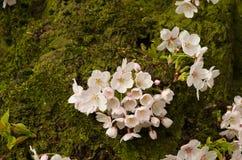 Tronco di fioritura Fotografia Stock Libera da Diritti