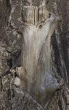 Tronco di grande, albero perenne fotografia stock libera da diritti
