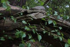 Tronco di legno con le foglie in una foresta Immagini Stock