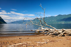 Tronco di un albero caduto sul faggio del lago Teletskoye Immagine Stock