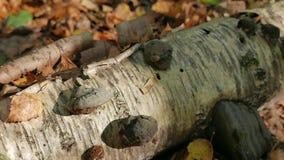Tronco di un albero di betulla caduto nella foresta di autunno archivi video
