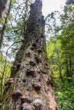 Tronco di un albero morto con i parassiti che crescono su, regione di Krasnodar, Russia fotografia stock