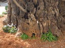 Tronco di vecchio di olivo nel giardino di Gethsemane Israel Jerusalem Immagini Stock
