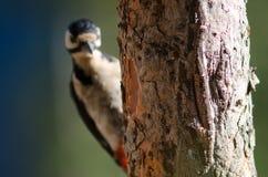 Tronco do pinho das Ilhas Canárias e do grande pica-pau manchado fora de foco Fotografia de Stock Royalty Free