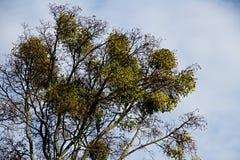 Tronco do visco alto nos ramos da árvore Imagens de Stock Royalty Free