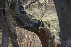 Tronco dos elefantes Imagem de Stock