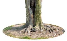 Tronco e grandi radici dell'albero che spargono fuori bello nei tropici Il concetto di cura e di protezione dell'ambiente fotografie stock