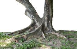 Tronco e grandi radici dell'albero che spargono fuori bello nei tropici Il concetto di cura e di protezione dell'ambiente fotografia stock