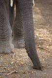 Tronco e presas do elefante africano foto de stock