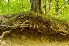 Tronco e raizes de árvore fotos de stock