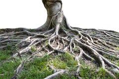 Tronco e raizes grandes da árvore que espalham para fora bonito nos trópicos O conceito do cuidado e da proteção ambiental imagem de stock royalty free