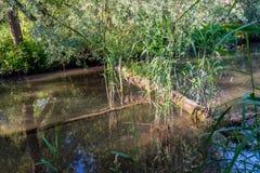 Tronco e ramo de árvore caídos em The Creek Imagem de Stock