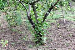 Tronco enegrecido de árvores de maçã doentes Imagens de Stock Royalty Free