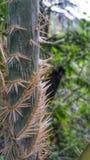 Tronco espinoso Fotografía de archivo