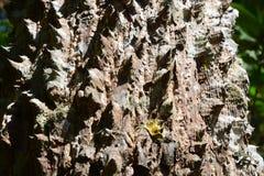 Tronco espinoso de fondo del árbol de ceiba del bombax imágenes de archivo libres de regalías