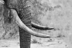 Tronco fangoso del elefante y blanco y negro artístico del primer de los colmillos Imagenes de archivo