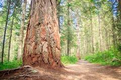 Tronco grande de un árbol de pino viejo Imagen de archivo libre de regalías
