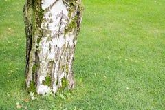 Tronco grueso de un abedul en hierba del fondo Imagen de archivo libre de regalías
