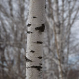 Tronco hermoso del abedul en primavera temprana en un fondo borroso de árboles Foto de archivo libre de regalías