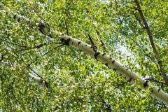 Tronco inclinado del abedul con las hojas verdes Imagen de archivo