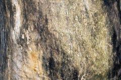 Tronco incrinato di vecchia quercia senza corteccia, albero morto Fotografie Stock Libere da Diritti