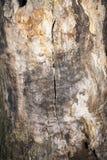 Tronco incrinato di vecchia quercia senza corteccia, albero morto Immagini Stock Libere da Diritti