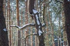 Tronco interessante e fabuloso do pinho alto em uma floresta brilhante Fotos de Stock Royalty Free