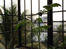 Tronco joven del tomate fotografía de archivo