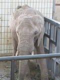 Tronco largo, oídos grandes, como los árboles del pie - un elefante, el animal más grande del mundo Fotos de archivo libres de regalías