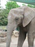 Tronco largo, oídos grandes, como los árboles del pie - un elefante, el animal más grande del mundo Imágenes de archivo libres de regalías