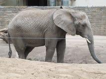 Tronco largo, oídos grandes, como los árboles del pie - un elefante, el animal más grande del mundo Imagen de archivo libre de regalías
