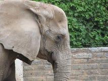 Tronco largo, oídos grandes, como los árboles del pie - un elefante, el animal más grande del mundo Foto de archivo