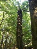 Tronco marcio della quercia con molti funghi del fomentarius di Fomis della spugna dell'esca immagini stock libere da diritti