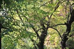 Tronco meravigliosamente curvo dell'albero e delle foglie verdi Immagine Stock