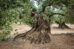 Tronco millenario antico di olivo Immagini Stock Libere da Diritti