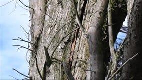 Tronco partido que se agrieta del árbol peligroso en altos vientos de vendaval metrajes