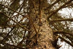 Tronco poderoso de um pinheiro Fotos de Stock Royalty Free