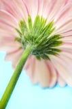 Tronco rosado de la flor del Gerbera Fotografía de archivo libre de regalías