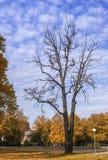Tronco seco do carvalho velho no parque outonal Fotos de Stock Royalty Free
