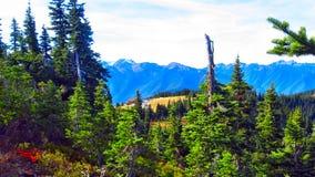 Tronco seco na floresta no parque nacional olímpico Fotos de Stock Royalty Free