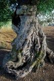 Tronco secolare di di olivo Fotografia Stock