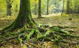 Tronco Spruce y raíces visibles Foto de archivo
