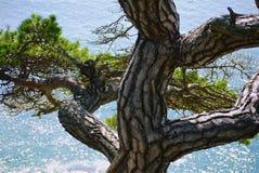 Tronco torto del pino su un fondo del mare del turchese un giorno soleggiato, fotografie stock libere da diritti